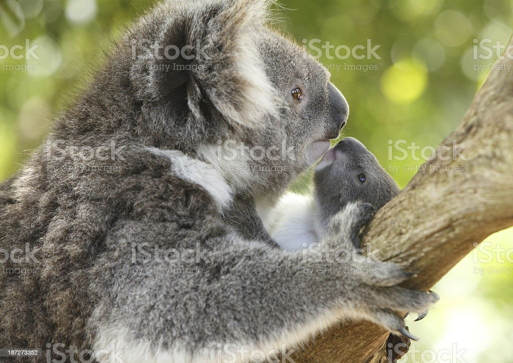 Koala and Joey royalty-free stock photo