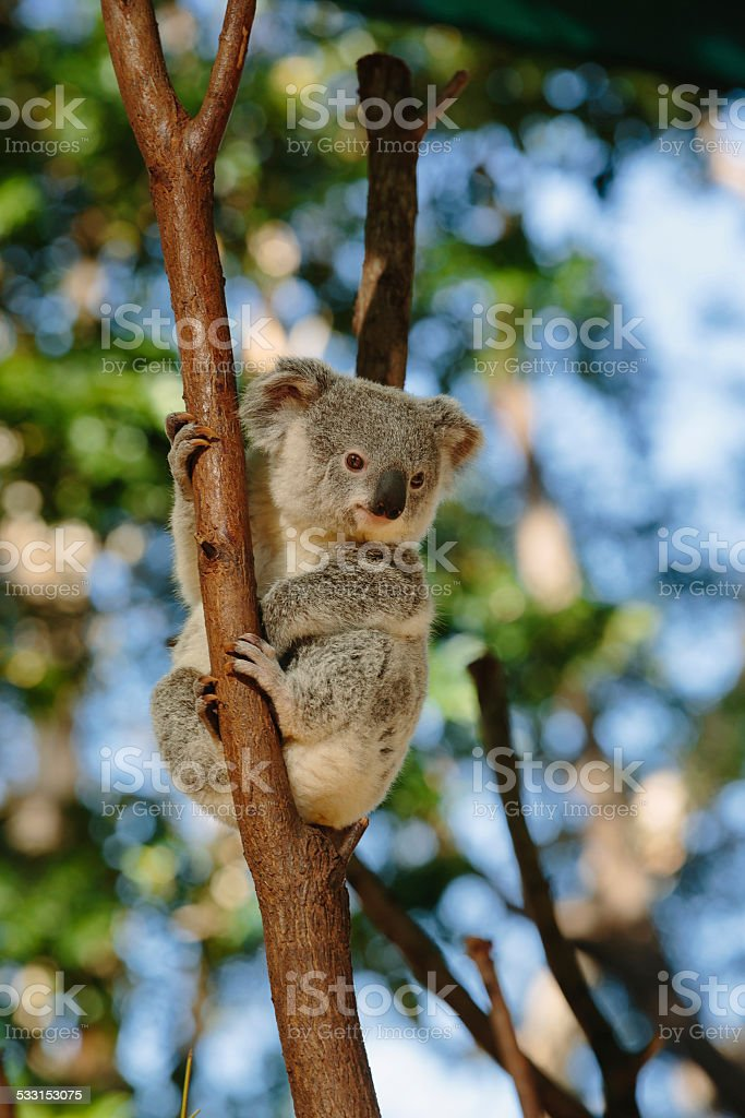 Koala  at Currumbin Wildlife Park stock photo