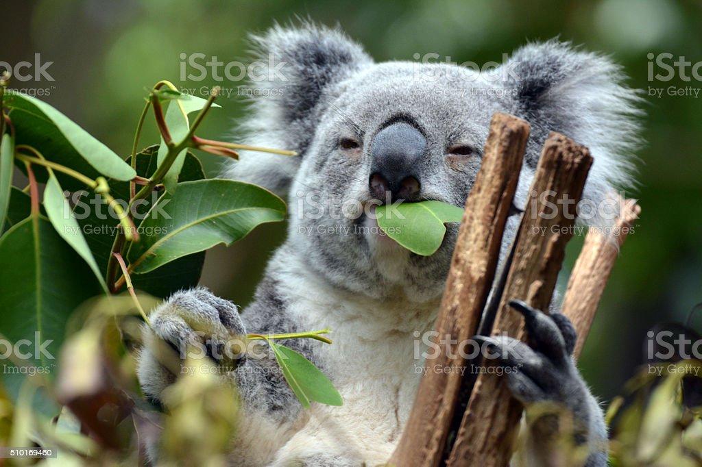 Koala at Lone Pine Koala Sanctuary in Brisbane, Australia stock photo