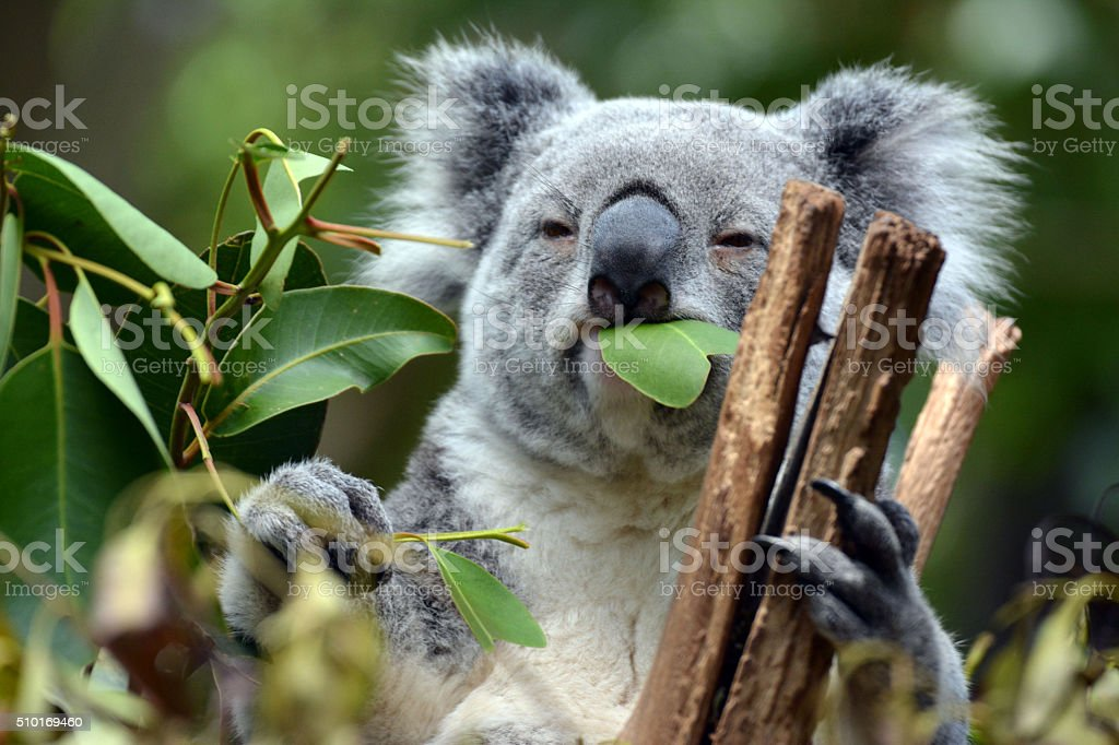 Koala at Lone Pine Koala Sanctuary in Brisbane, Australia stock photo