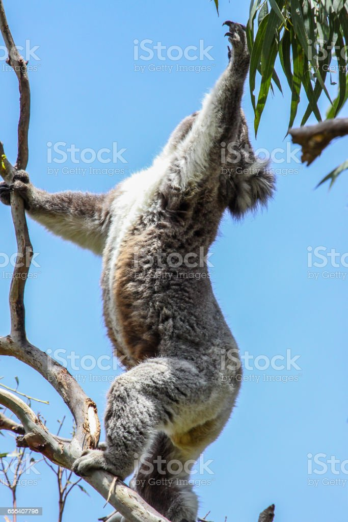 Koala attempt to get the green leaves of an eucalyptus tree, Great Otway National Park stock photo