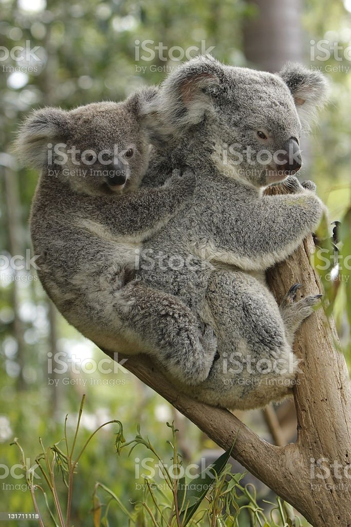Koala Baby and Mother royalty-free stock photo