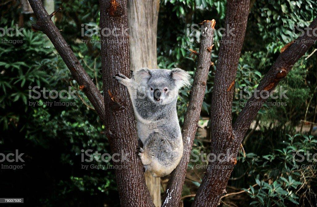 Koala bear climbing a tree stock photo