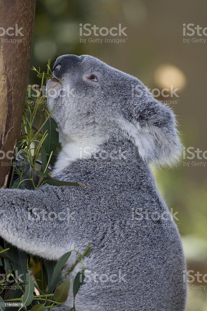 Koala flux sur feuilles à l'Eucalyptus photo libre de droits