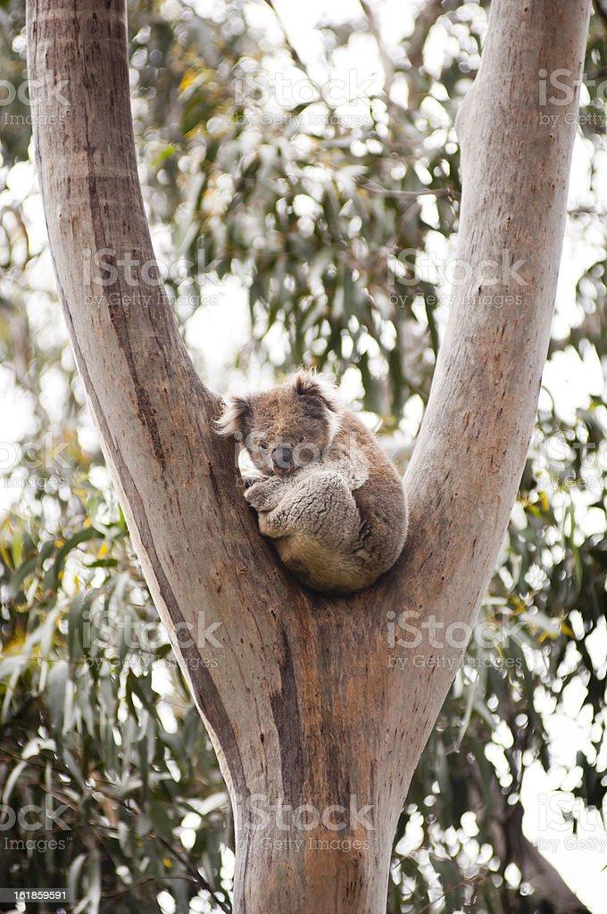 Koala Bear in Crook of a Wild Gum Tree, Australia royalty-free stock photo