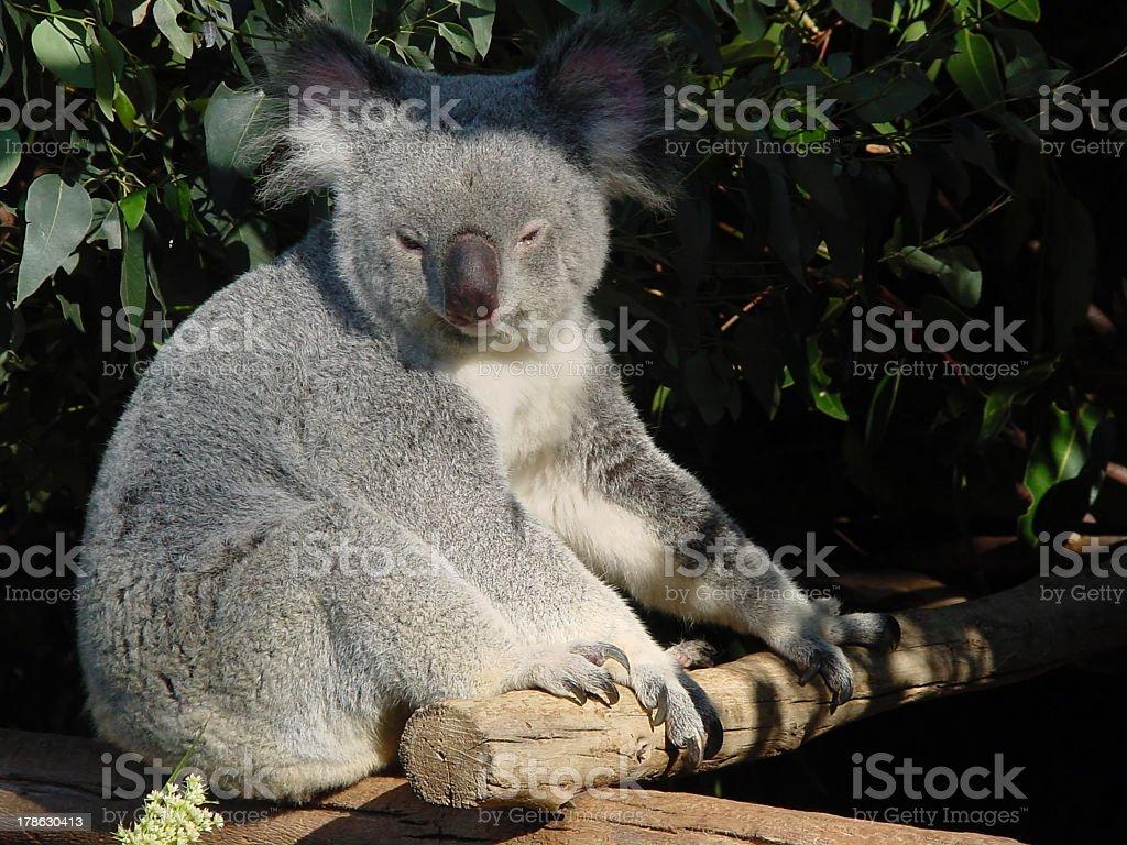 Koala bear in eucalyptus tree royalty-free stock photo