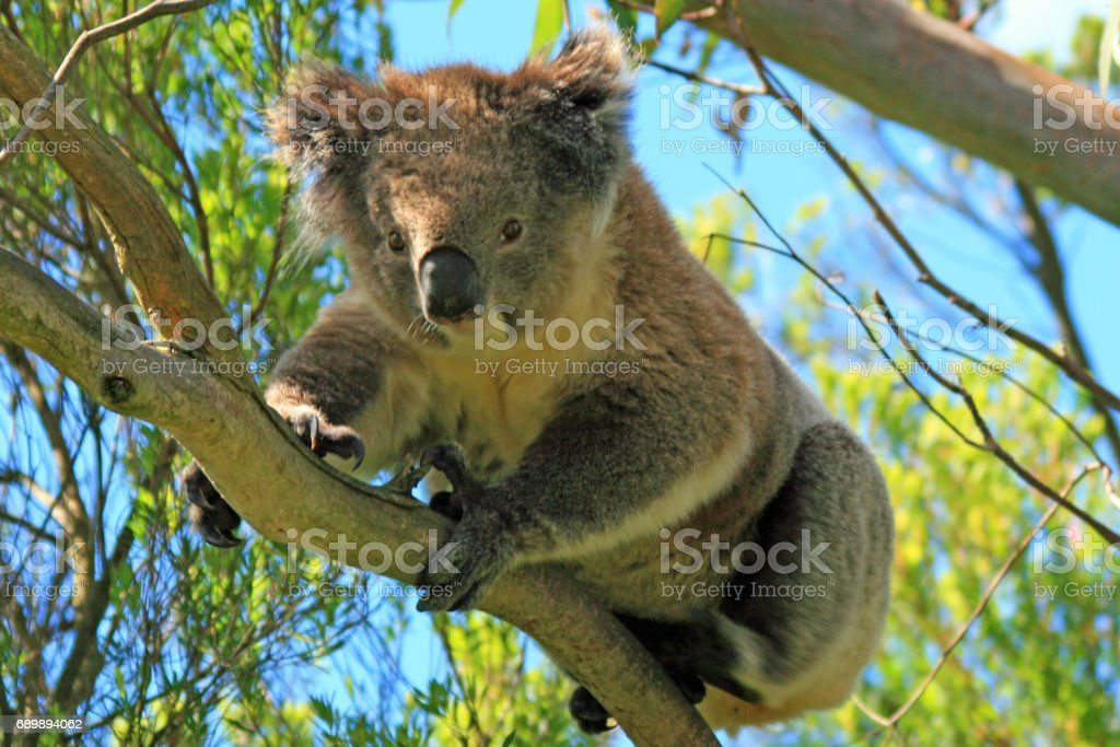 Koala Bear in the wild in the eucalyptus trees on Cape Otway in Victoria Australia stock photo