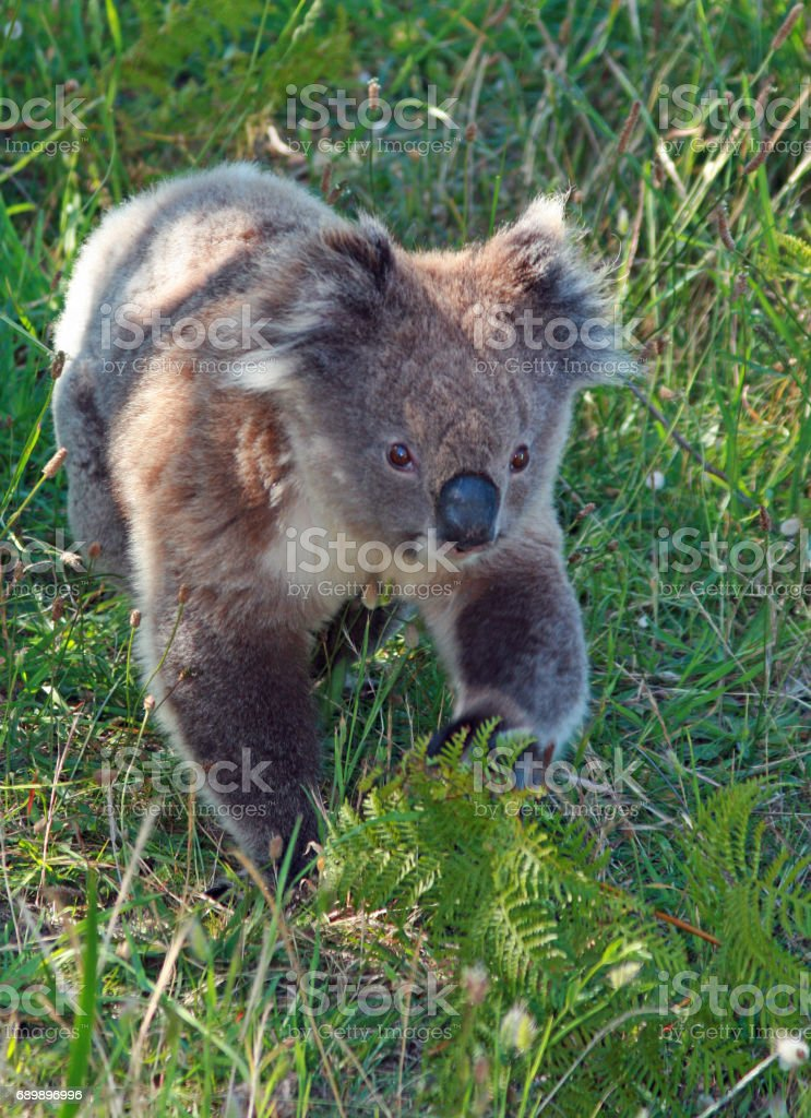 Koala Bear in the wild walking on the ground in Cape Otway in Victoria Australia stock photo