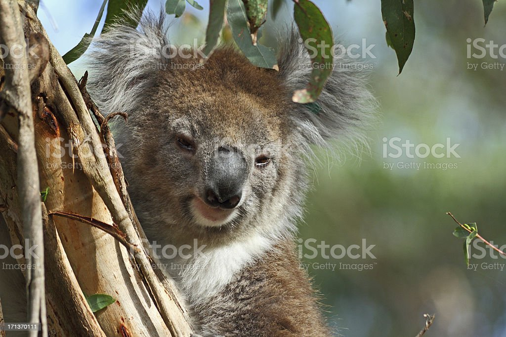 Koala Bear perched up on a eucalypt tree in the Forest stock photo