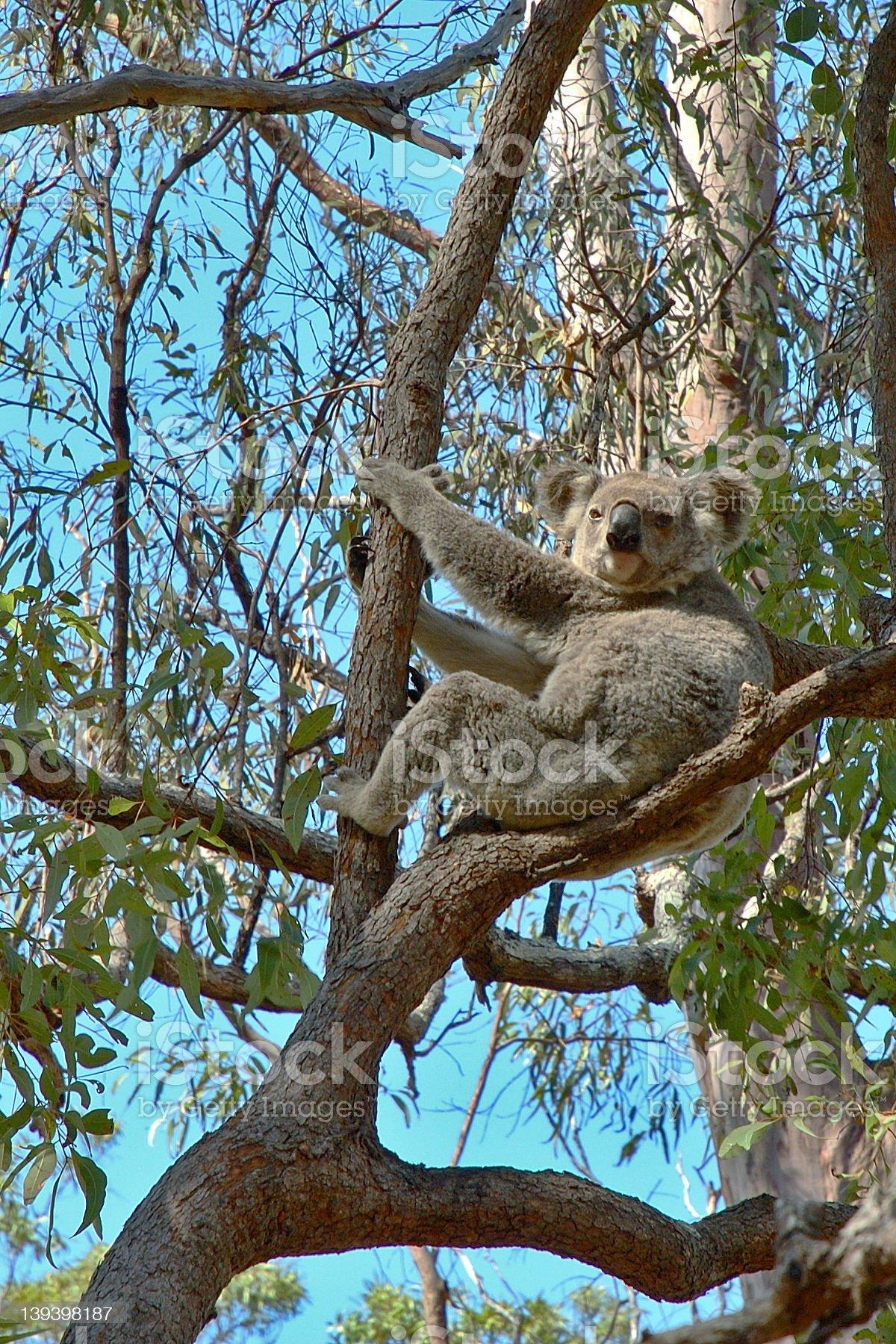 Koala Bear royalty-free stock photo