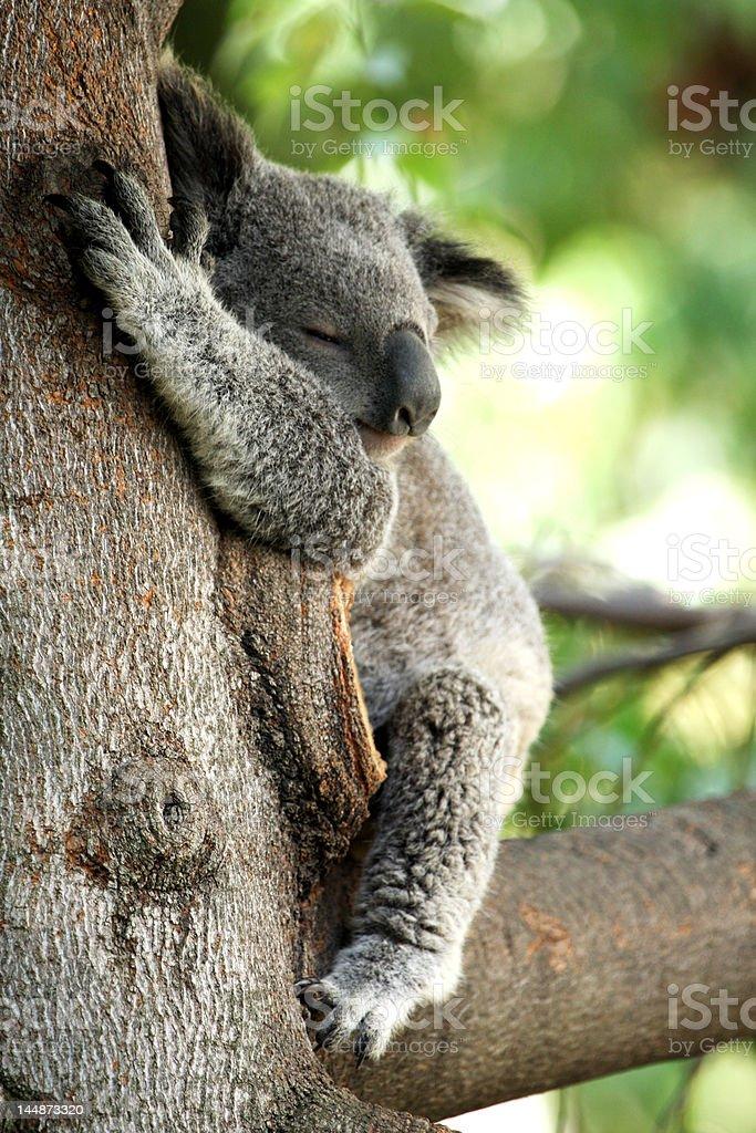 Oso Koala foto de stock libre de derechos