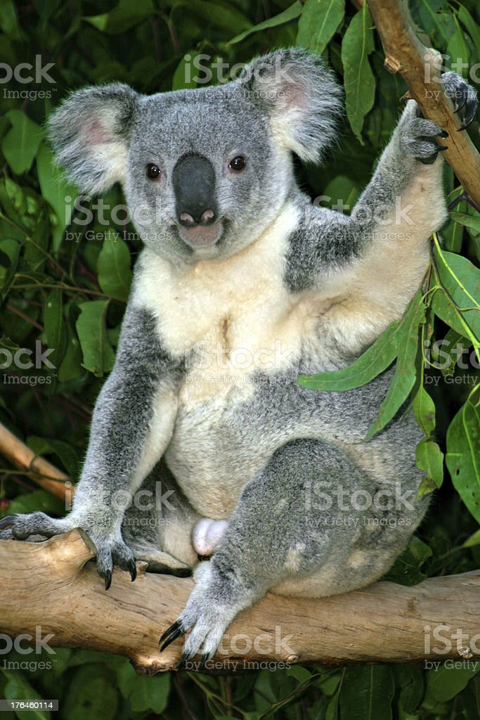 Koala Bear royalty-free stock photo