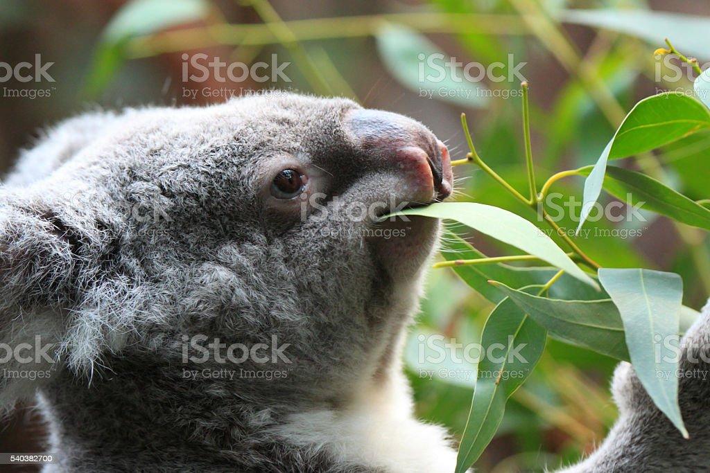 Koala bear (Phascolarctos cinereus) stock photo