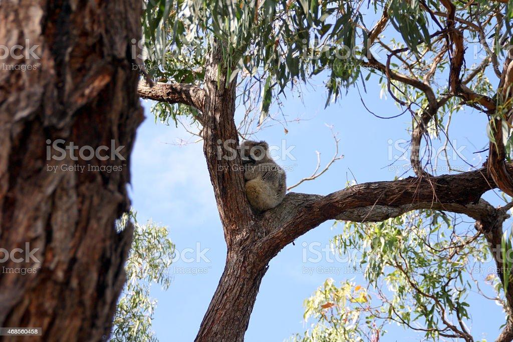 koala bear sitting and sleeping in the eucalyptus trees royalty-free stock photo