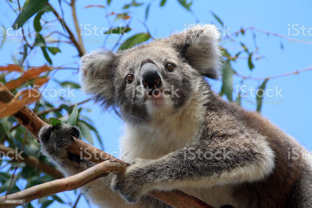 koala bear sitting in eucalyptus tree stock photo