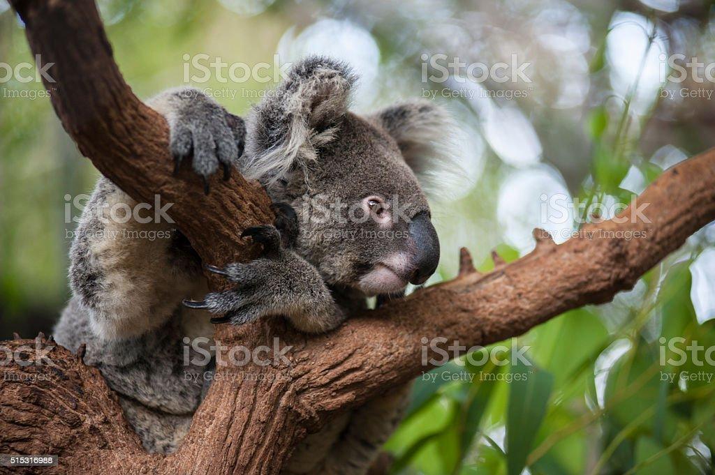 Koala bear sleep in the tree stock photo