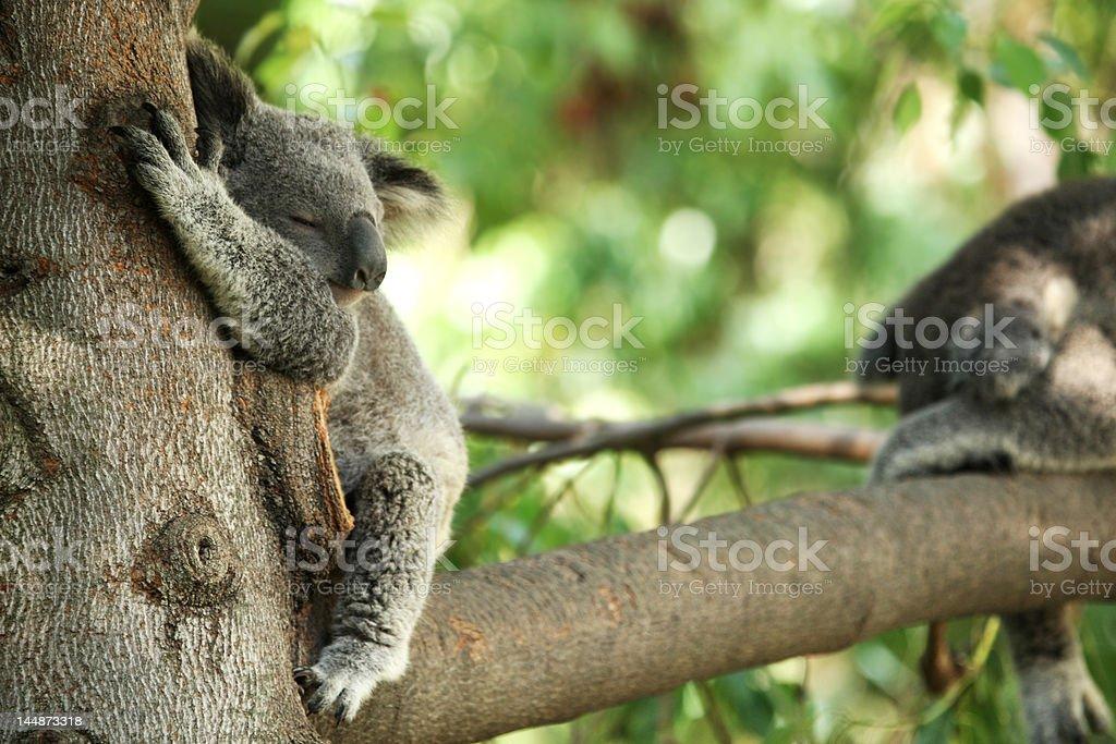 Oso Koala en un árbol dormitorio foto de stock libre de derechos
