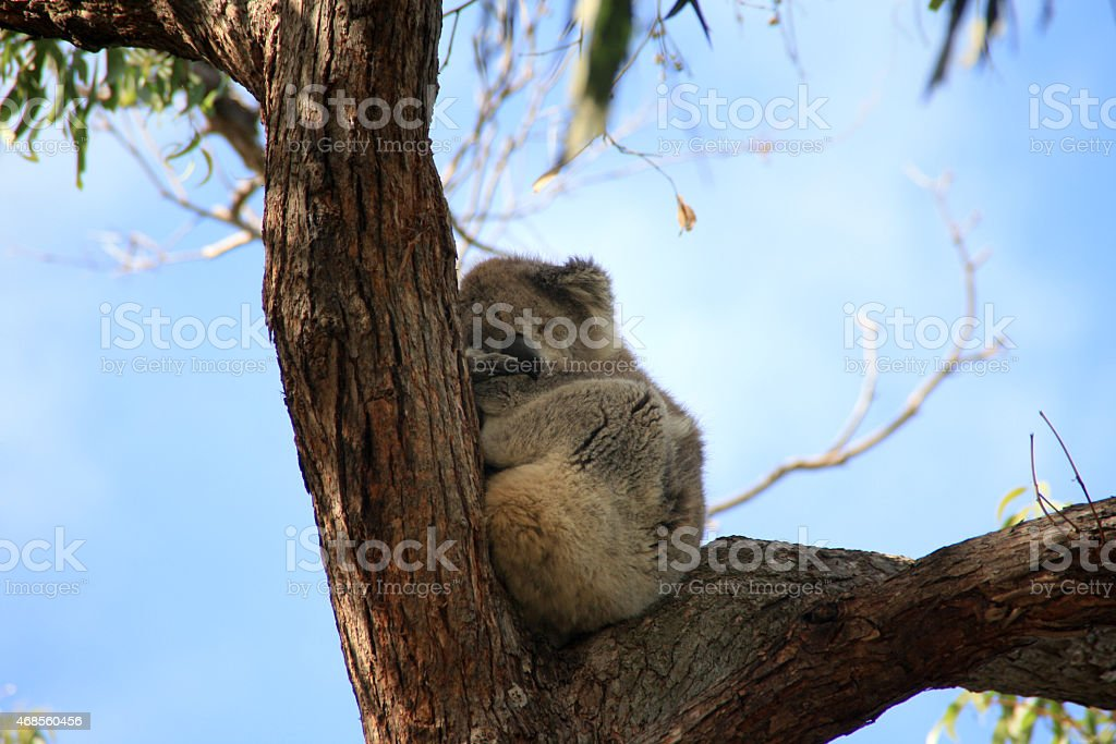 koala bear sleeping on an eucalyptus tree royalty-free stock photo