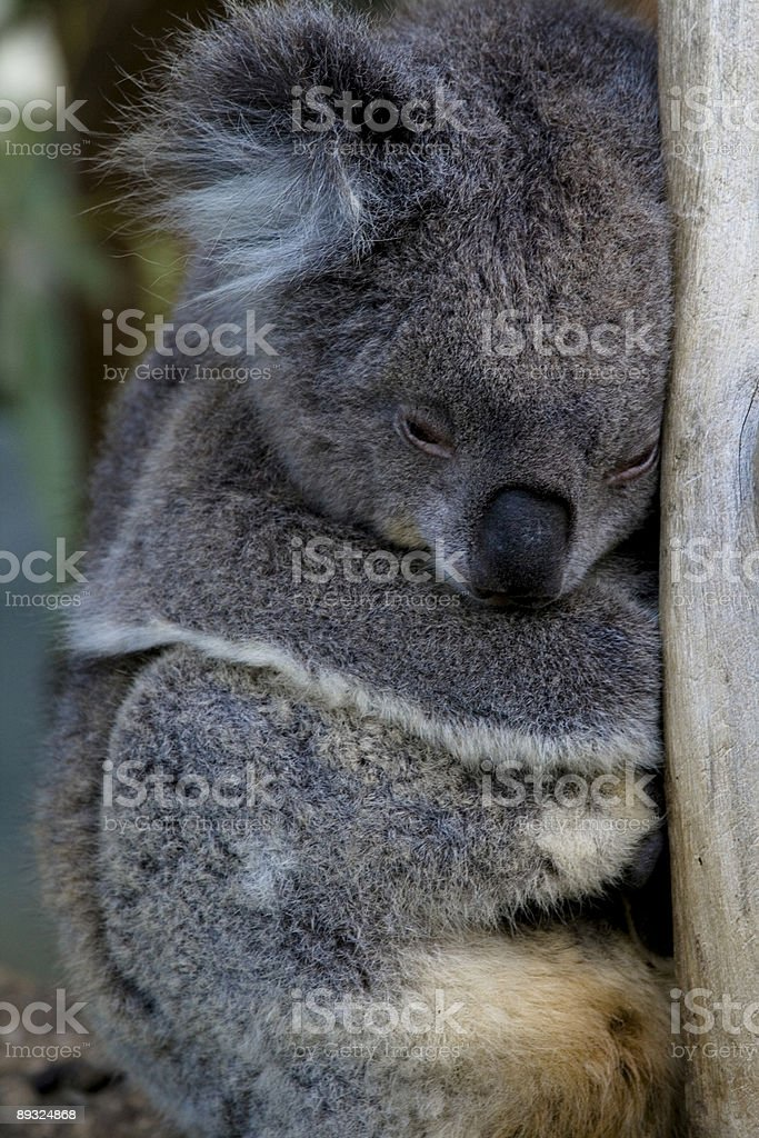 Koala Bear Sleeping stock photo
