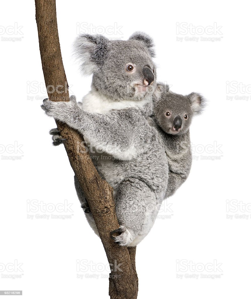 Koala bear with child climbing a branch stock photo