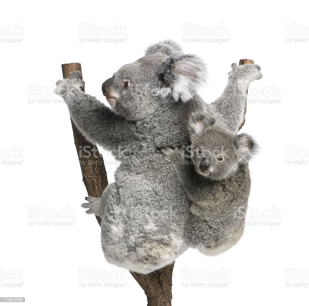 Koala bears climbing tree in front of white background royalty-free stock photo