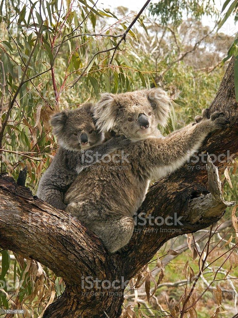 Koala bears climbing tree royalty-free stock photo