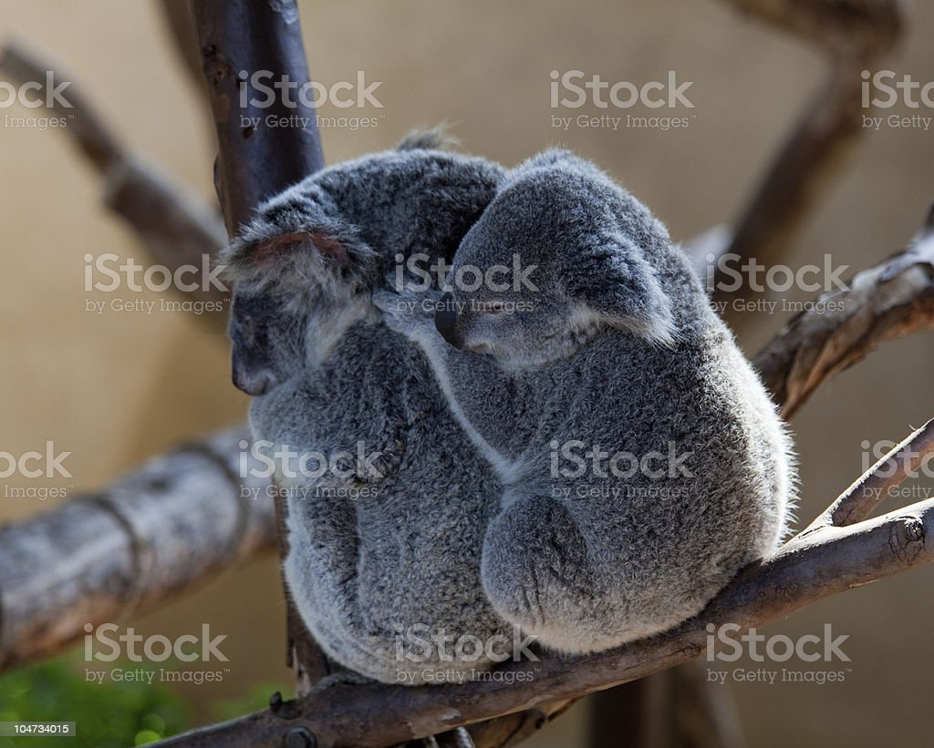 Koala Bears cuddling on a branch royalty-free stock photo