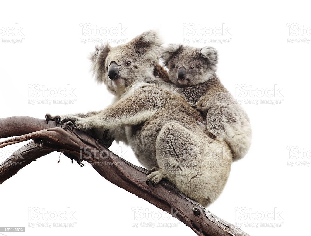 Koala bears isolated on white stock photo