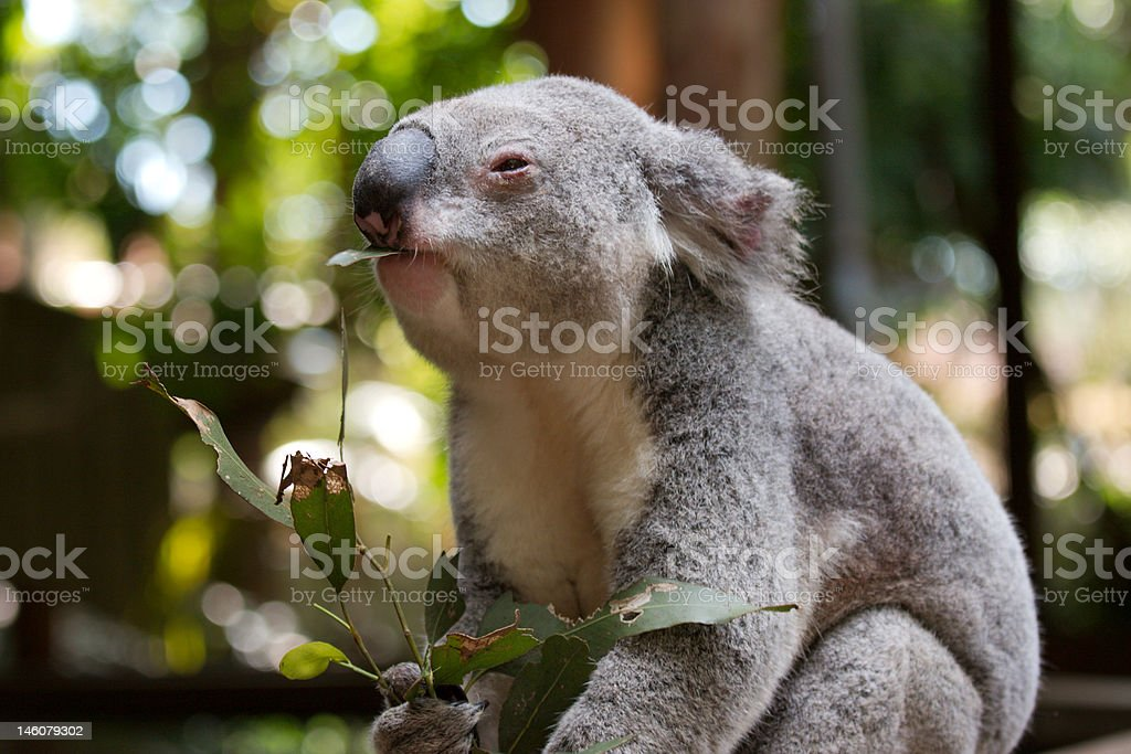 Koala bear's lunch royalty-free stock photo
