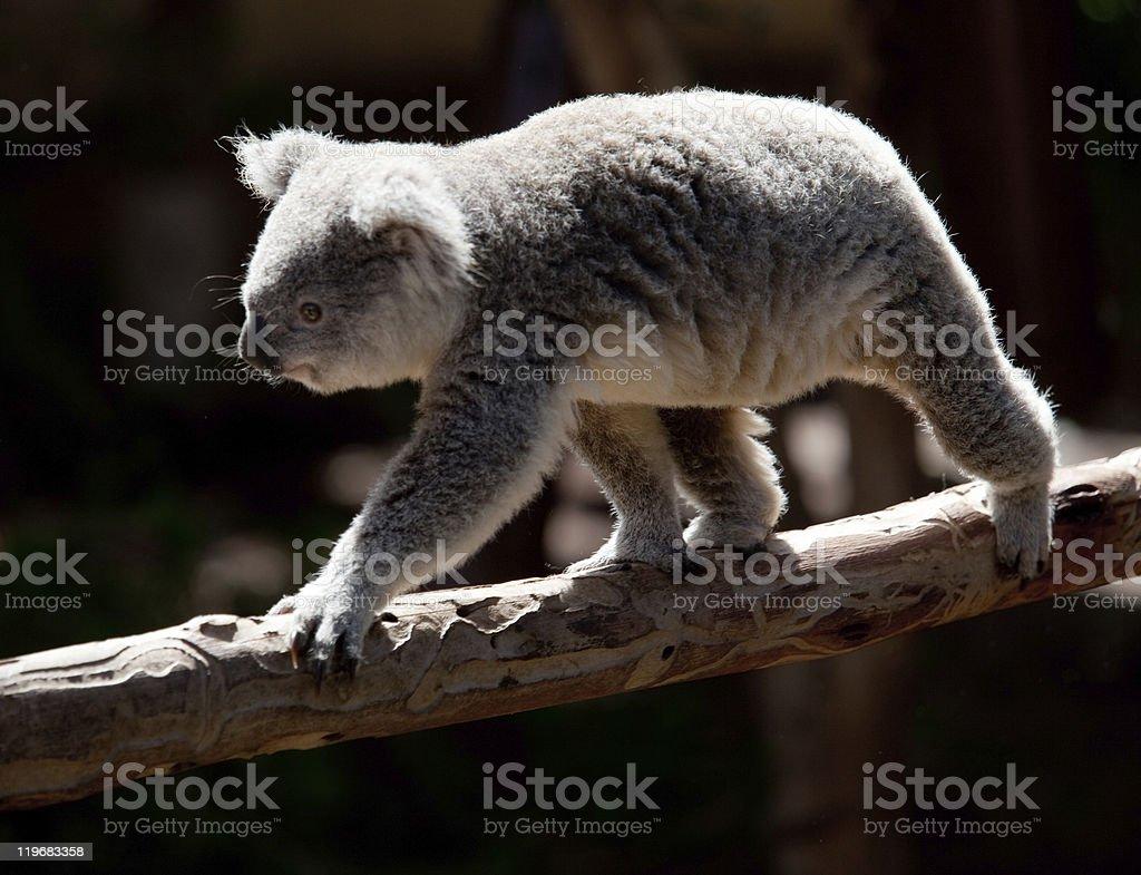 Koala Bearwalking along branch royalty-free stock photo