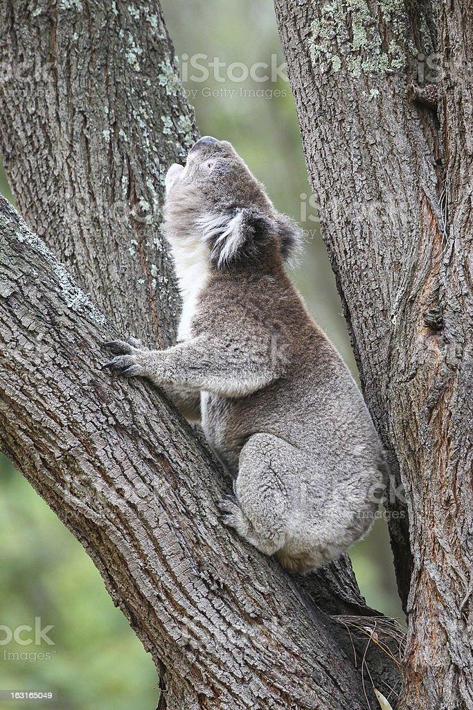 Koala Calling royalty-free stock photo