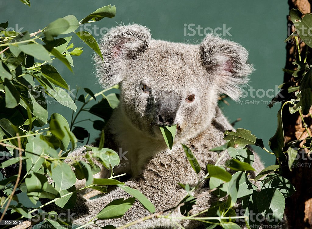 koala chewing royalty-free stock photo