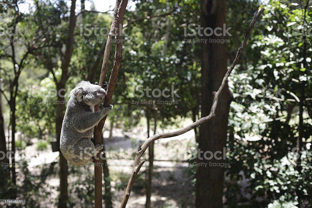 Koala Climbing royalty-free stock photo
