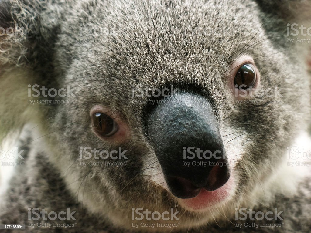 Koala close-up royalty-free stock photo