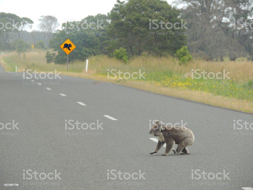 Koala crossing stock photo