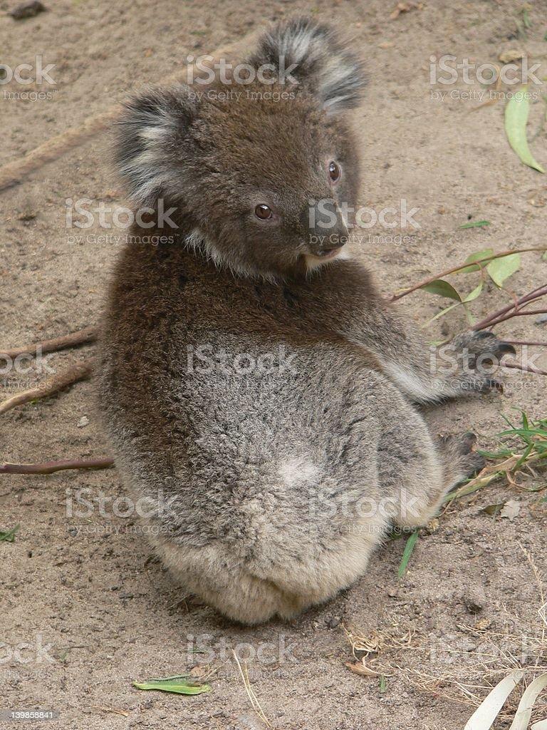 koala cub royalty-free stock photo