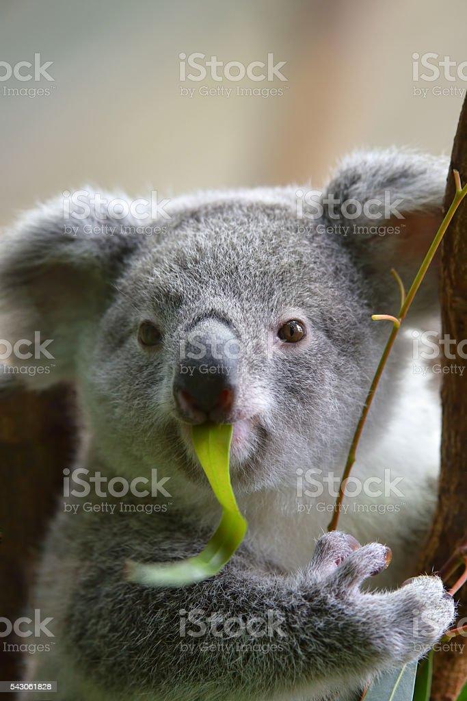 koala eating an eucalyptus leaf stock photo