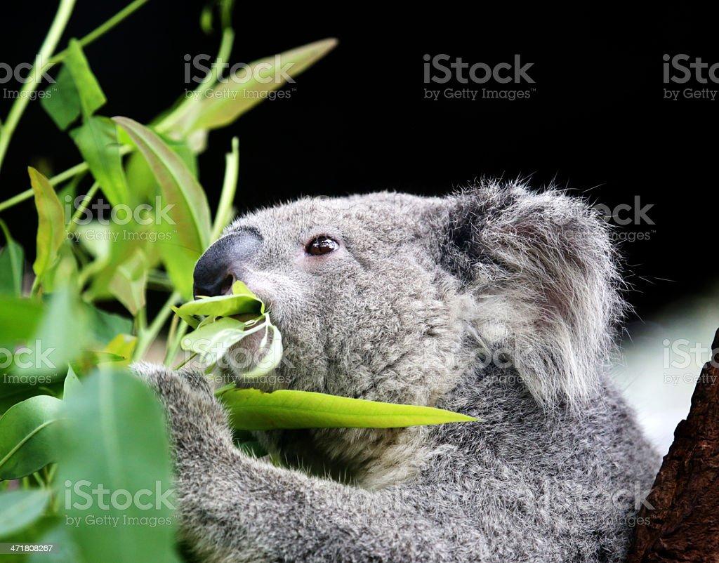 koala eating eucalyptus leaves. stock photo