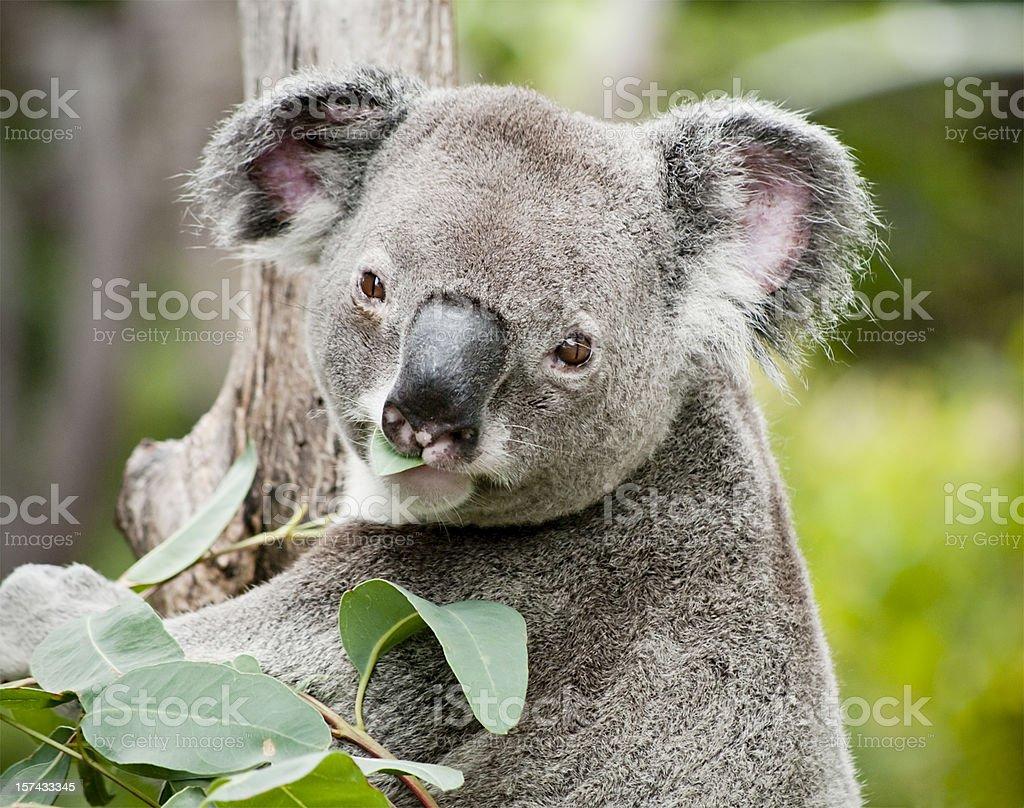 Koala eating eucalyptus stock photo