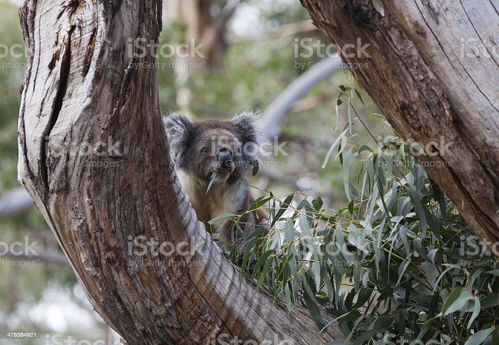 Koala eating gum leaves stock photo