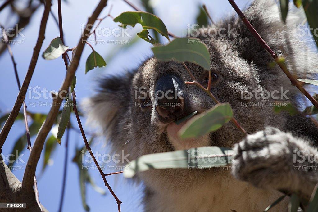 Koala eating stock photo