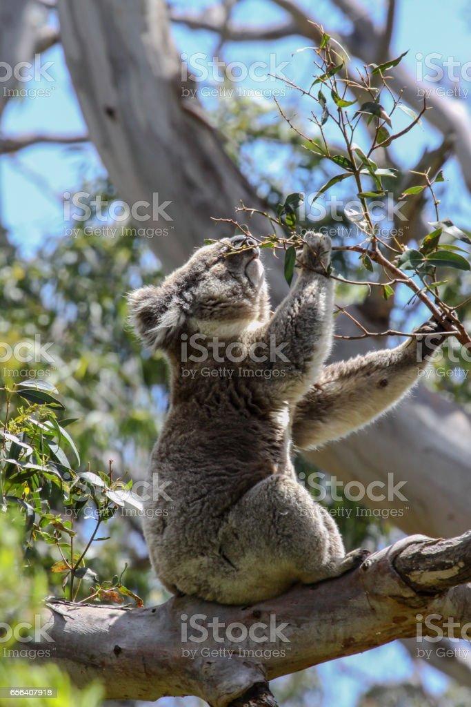 Koala feeding on the green leaves of an eucalyptus tree, Great Otway National Park stock photo