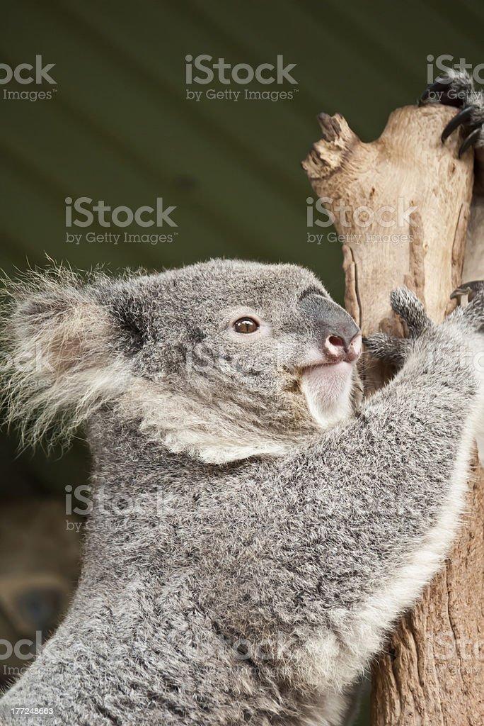 Koala holding onto a tree. stock photo