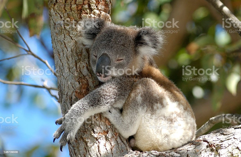 Koala hugging a tree with eyes closed stock photo