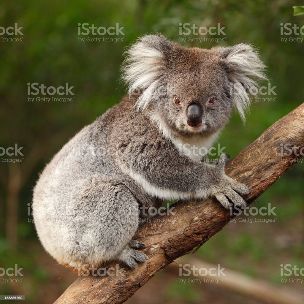 A Koala in a forest that looks to be hanging on to a tree  stock photo