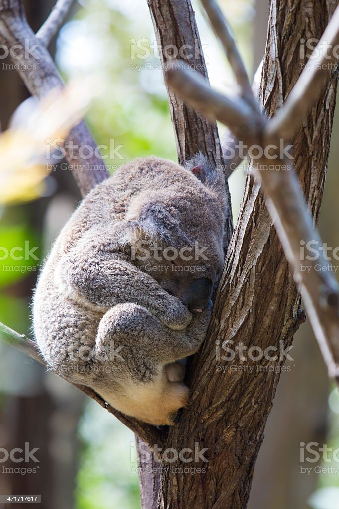 Koala in a Tree royalty-free stock photo