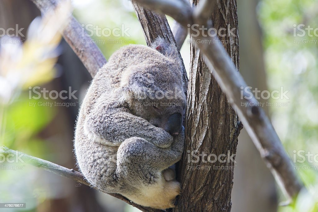 Koala in a Tree royalty-free stock photo