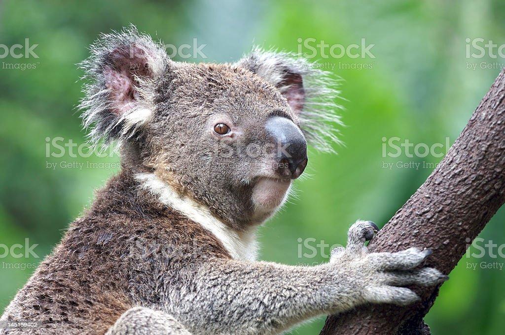 Koala en Australie photo libre de droits