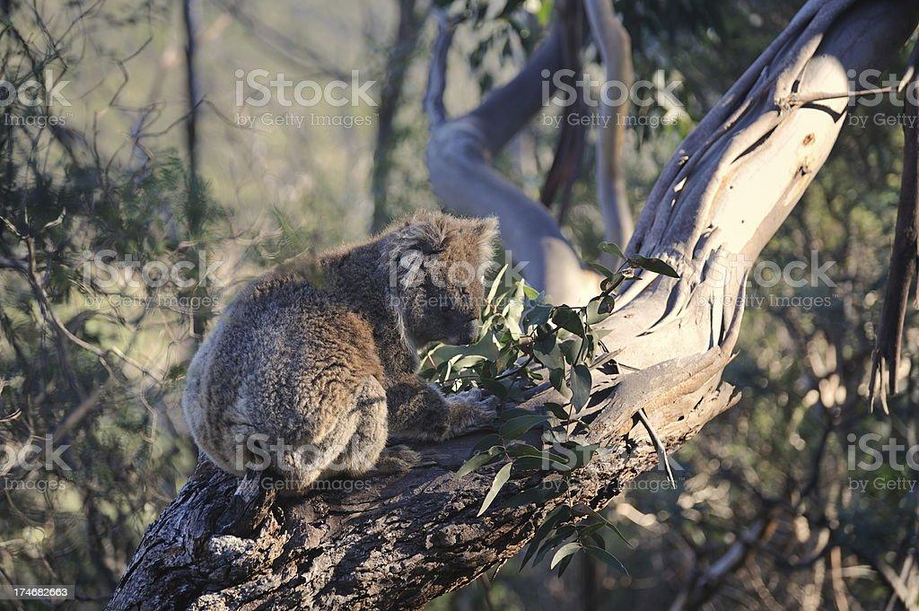 Koala in Eucalpytus Outback royalty-free stock photo
