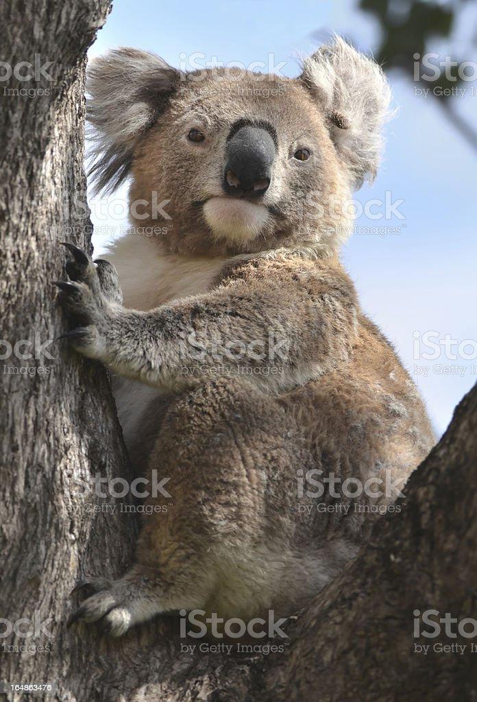 Koala in gum tree royalty-free stock photo